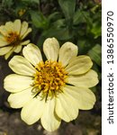 white zinia elegans with...   Shutterstock . vector #1386550970