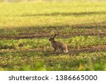 Stock photo portrait of brown hare wildlife on the meadow field 1386665000