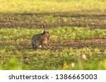Stock photo brown hare eats spring grass on the meadow 1386665003