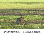 Stock photo wild brown hare runs along a farm meadow in the spring 1386665006