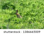 Stock photo brown hare eats spring grass on the meadow 1386665009