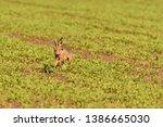 Stock photo wild brown hare runs along a farm meadow in the spring 1386665030