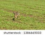 Stock photo wild brown hare runs along a farm meadow in the spring 1386665033