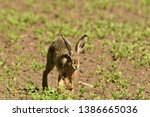 Stock photo portrait of brown hare wildlife on the meadow field 1386665036