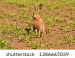 Stock photo portrait of brown hare wildlife on the meadow field 1386665039