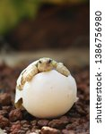 Stock photo africa spurred tortoise are born naturally tortoise hatching from egg cute portrait of baby 1386756980