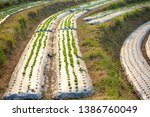 strawberry field covered with... | Shutterstock . vector #1386760049