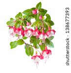 Red And White Branch  Fuchsia ...