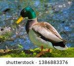 A Male Drake Mallard Duck...