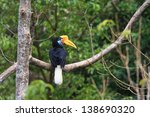 Small photo of Knobbed Hornbill (Aceros cassidix) female in Sulawesi, Indonesia