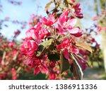 apple blossom. pink apple... | Shutterstock . vector #1386911336