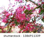 apple blossom. pink apple... | Shutterstock . vector #1386911339