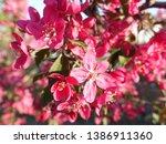 apple blossom. pink apple... | Shutterstock . vector #1386911360