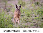 Stock photo european hare running away closeup 1387075913