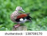 Cute Ringed Teal Duck