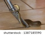 snouted cobra coiled around...   Shutterstock . vector #1387185590
