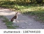 Stock photo hare sitting on a rural road shows tongue 1387444103