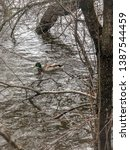 A Duck In The Ottawa River...