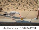 Seagull Grabbing A Plastic...