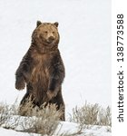 Stock Photo Of A Grizzly Bear...