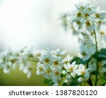 blooming white mayday tree in... | Shutterstock . vector #1387820120
