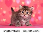 Stock photo siberian cats and kittens perfect for postcards 1387857323