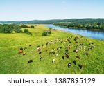 Aerial View Of The Herd Of Cows ...
