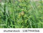 Spring Equisetum Fluviatile  ...