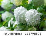 Spring Blooming Guelder Rose...