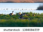 Wild Geese With Goslings In...