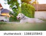 thai dog lying on the green... | Shutterstock . vector #1388105843