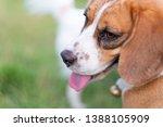 nose of cute beagle puppy in... | Shutterstock . vector #1388105909