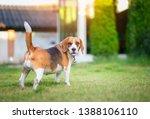 beagle dog walking on the green ... | Shutterstock . vector #1388106110