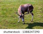 Blesbok In A Field Having A...
