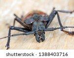giant fijian longhorn beetle... | Shutterstock . vector #1388403716