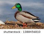 Mallard Or Wild Duck  Anas...