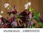 Oxalis Acetosella Houseplant ...