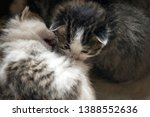 Stock photo little striped wild kittens two weeks the kittens are not able to walk 1388552636