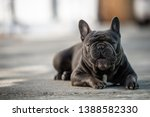 canine portrait of a gray...   Shutterstock . vector #1388582330