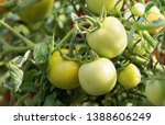 tomatoes growing in greenhouse. ... | Shutterstock . vector #1388606249