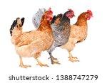three chicken standing together ... | Shutterstock . vector #1388747279
