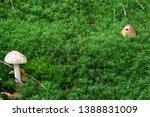 Two Mushrooms  Amanita...