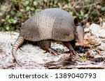 Armadillo In Its Natural...