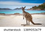 Stock photo kangaroo at lucky bay in the cape le grand national park near esperance western australia 1389052679