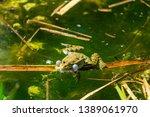 marsh frog  pelophylax...   Shutterstock . vector #1389061970
