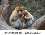 Monkey Love   A Barbary Macaqu...