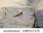 Barred Mudskipper Or...