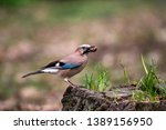 Jay with a nut in a beak