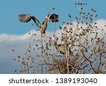 A Great Blue Heron Flies To His ...