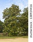 A Southern Magnolia Tree...